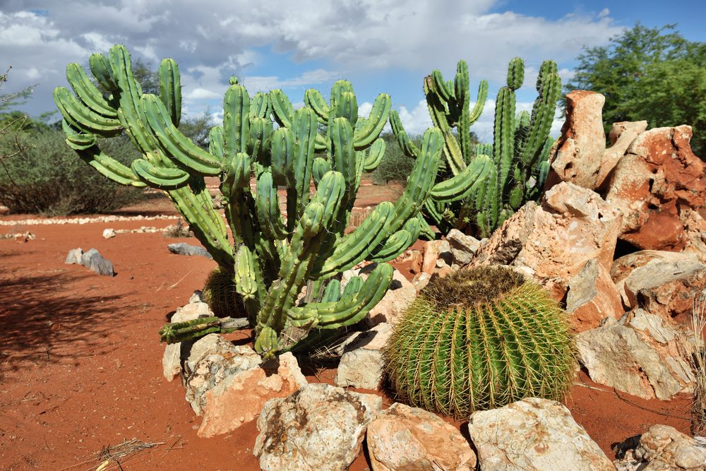 tropical cactus in garden, Namibia_379288339