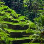 Green rice fields on Bali island_375319075
