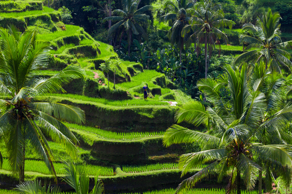 Green rice fields on Bali island_375319075