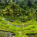 Beautiful green terrace paddy fields on Bali_426405136