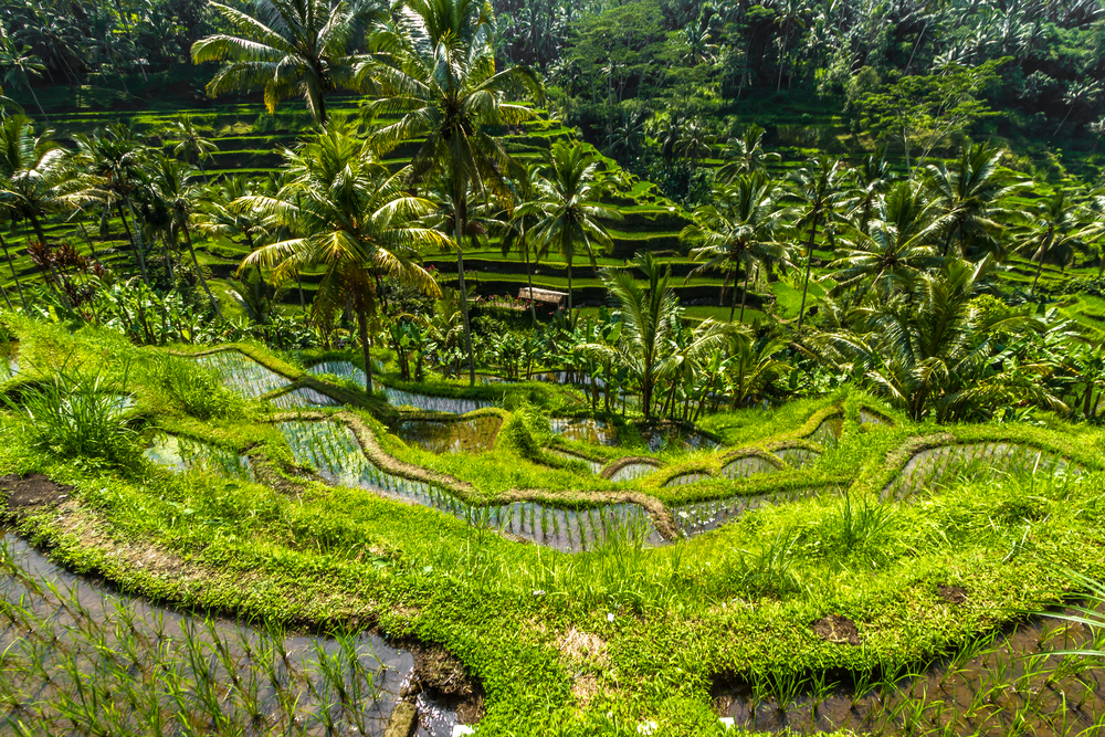 Beautiful green terrace paddy fields on Bali_426405136