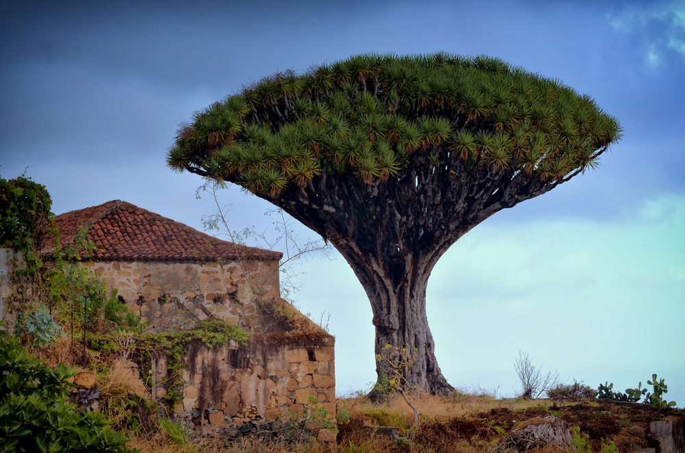 giant dracaena tree in los Realejos - Tenerife_335194754
