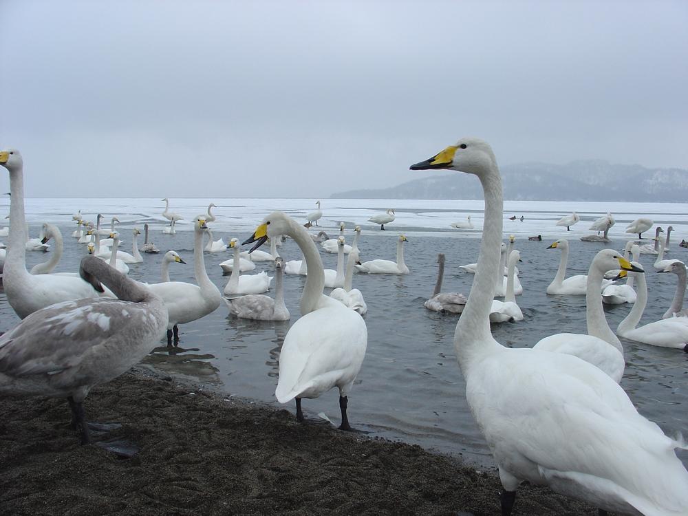 swan in hokkaido_413514550