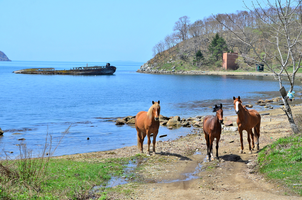 Horses in the Bay Vityaz_431450863