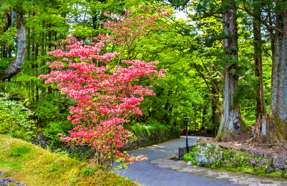 Blooming bush at Nikko heritage site _428657158