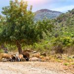 mountain sheep in bali greece_437593324
