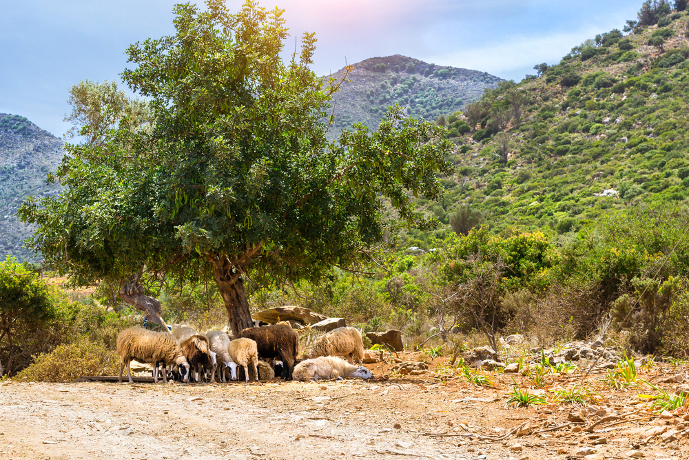 mountain sheep in bali greece_437593324