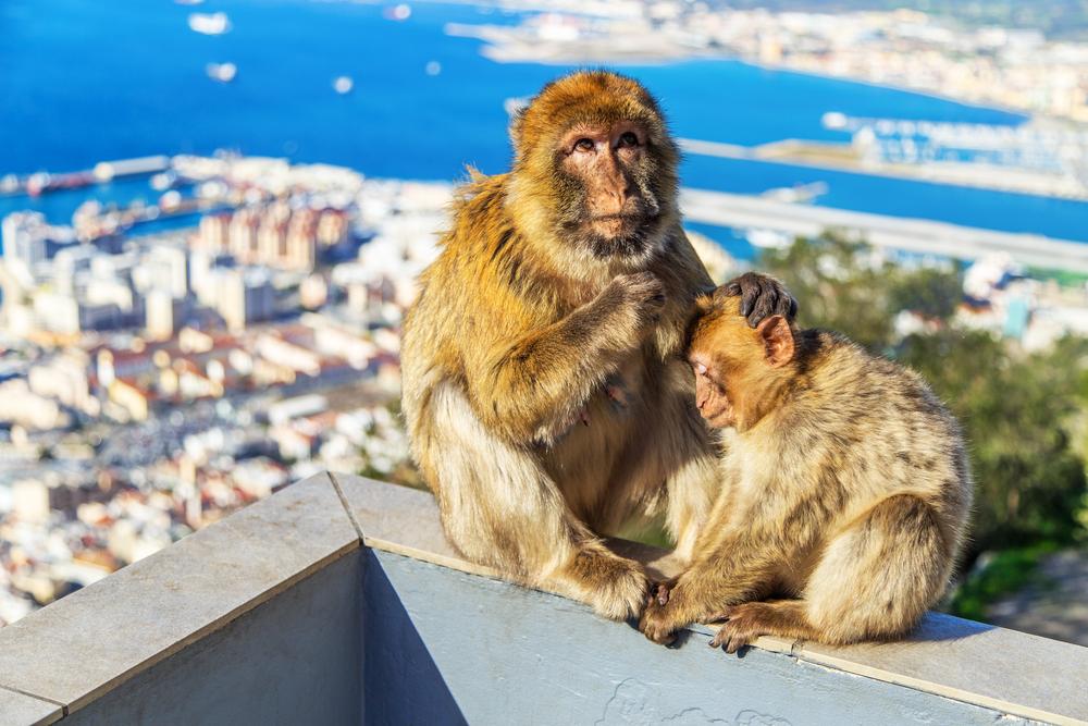 Barbary macaques (Barbary apes) _242036617