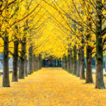 yellow ginkgo tree in Nami Island_335234669
