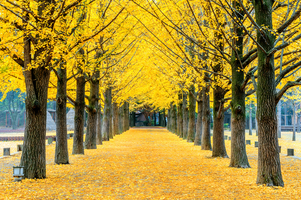 yellow ginkgo tree in Nami Island_335234669