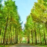 Row of green trees in Nami Island, Korea_335433026