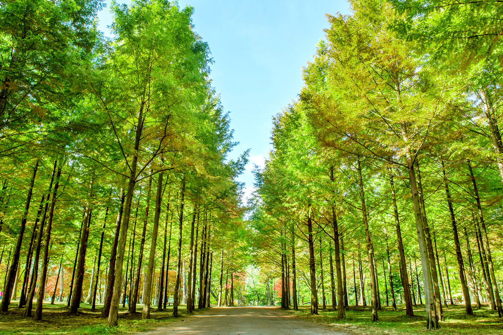 Row of green trees in Nami Island, Korea_335433026