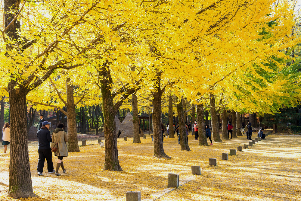 autumn around Nami Island_332443394