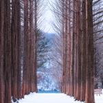 Row of pine trees_245729488