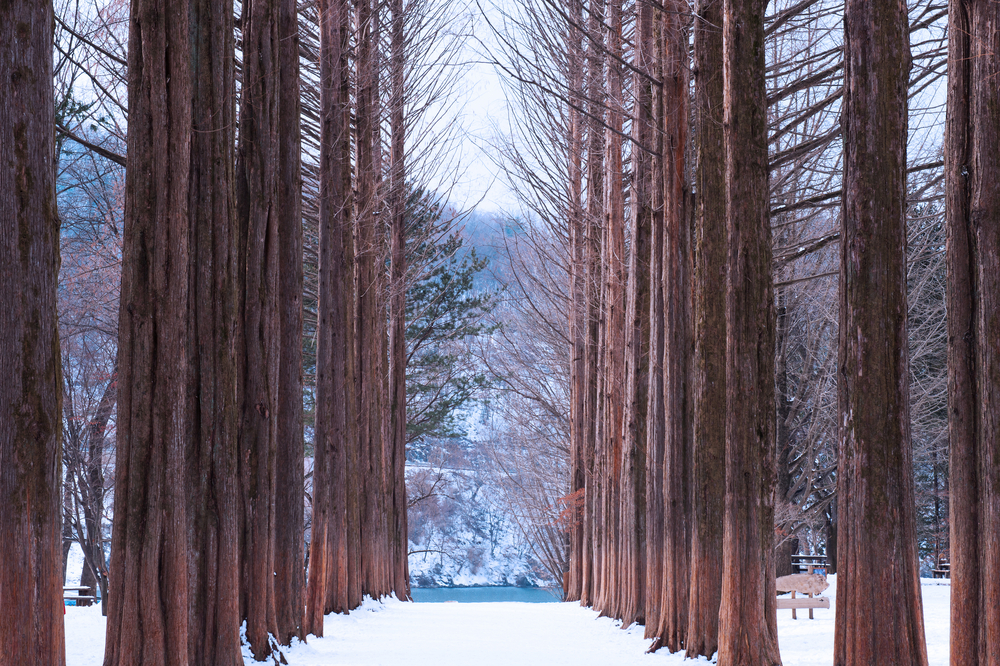 Row of pine trees_245729488