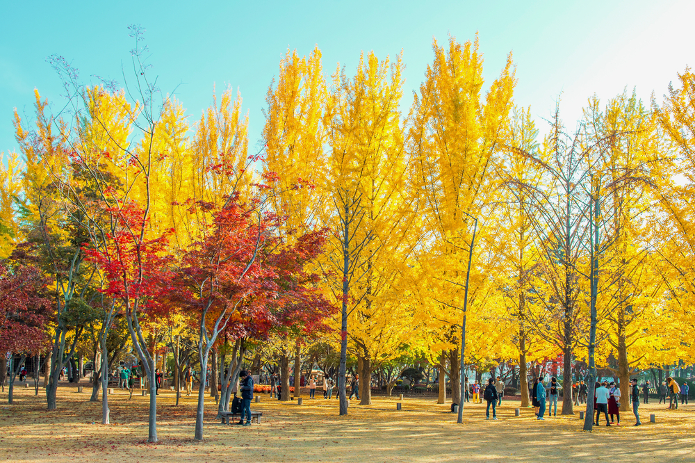 photos of the beautiful scenery in autumn around Nami Island_332443433