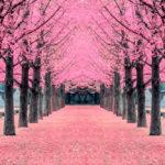 Pink tree,Nami Island_406570069