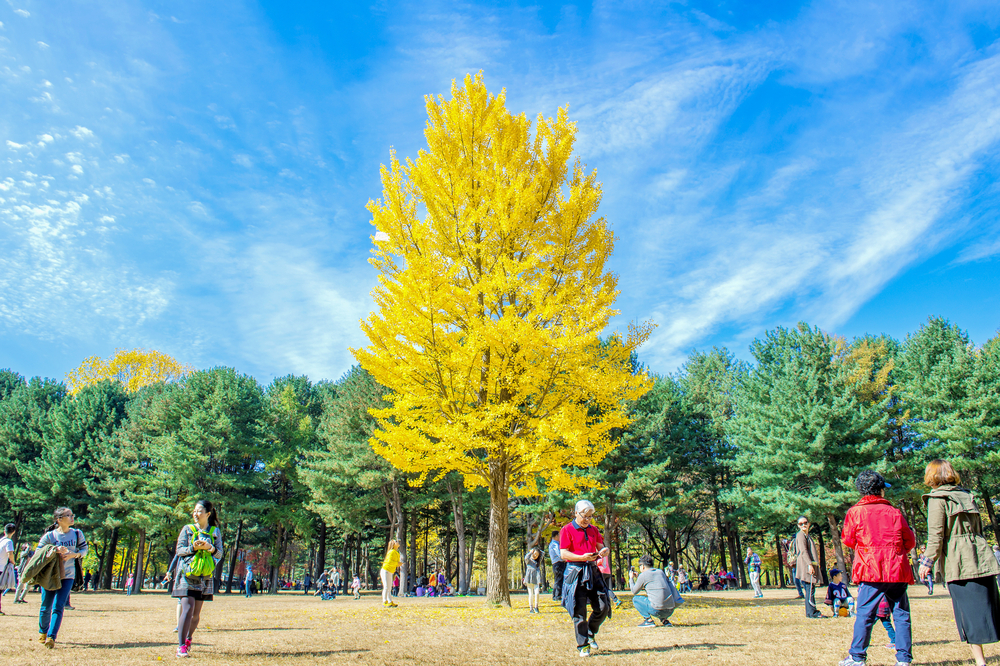 autumn around Nami Island_332443223