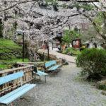 sakura ( cherry flower ) blossoms in a park in Nara_358050182