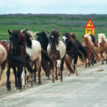 galloping horses on a road in the Icelandic countryside_447814396