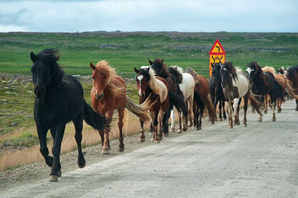 galloping horses on a road in the Icelandic countryside_447814393