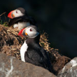 puffins on a rock at Dyrholaey_447659785