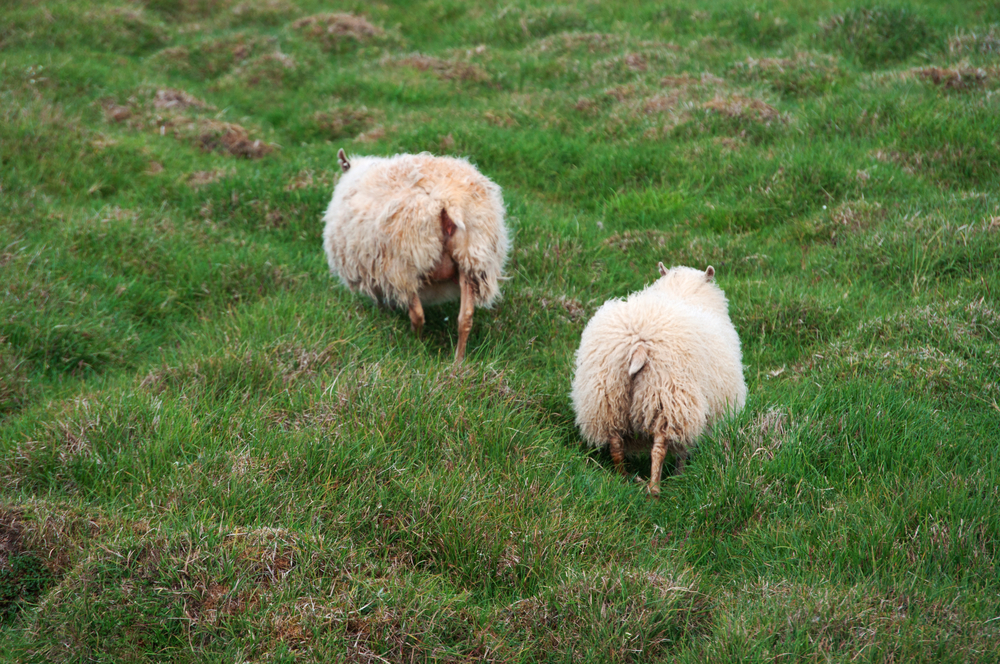 sheeps in Icelandic countryside_447812575
