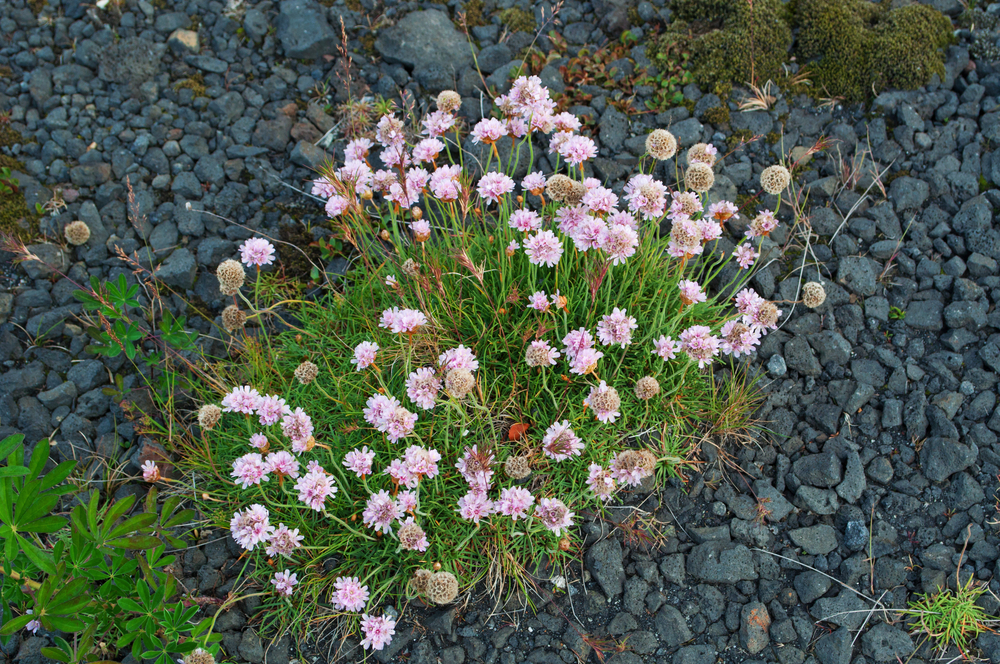 pink flowers growing on lava ground_447804925