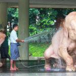 White elephant bathing in Myanmar Yangon_418100392