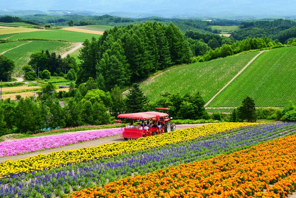 Colorful flower field at Shikisai-no-oka, Biei_456781309
