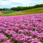 Flower field at Shikisai park _151279145