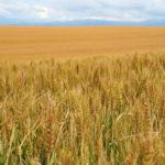 Wheat field in Biei, Japan_152288384