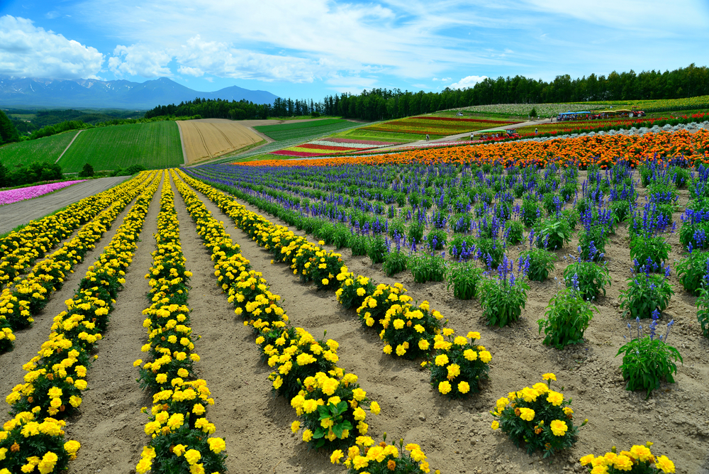 Flower field at Shikisai park (The Hill of Seasonal Colors), Biei_151279061