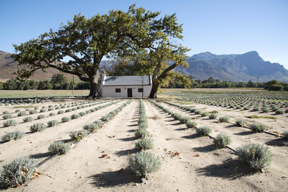 lavender farm_421446757