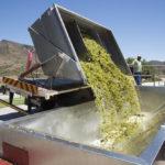 Sauvignon blanc grapes arriving at Goudini Cellar in Rawsonville_349494986