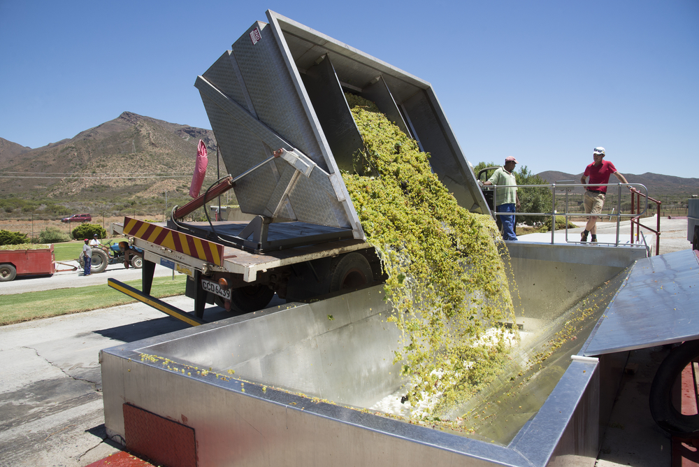 Sauvignon blanc grapes arriving at Goudini Cellar in Rawsonville_349494986