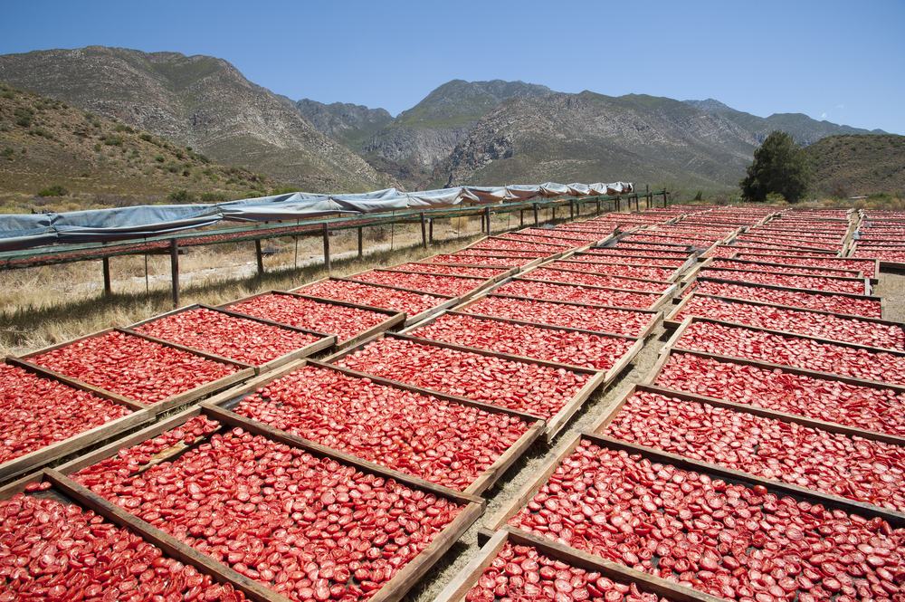 Tomatoes drying in the sun on a Montagu farm_320096327
