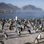 penguins on the coast at Betty s Bay_417496837