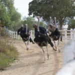 Ostrich farm in Oudtshoorn in the Western Cape _359655311