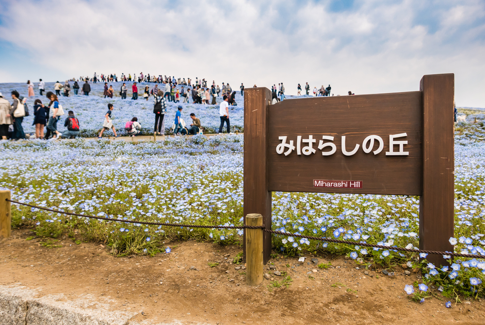 Miharashi hill at Hitachi Seaside Park_472959058