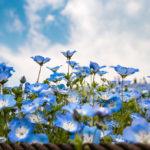 Blue Nemophila at Hitachi Seaside Park _472958923