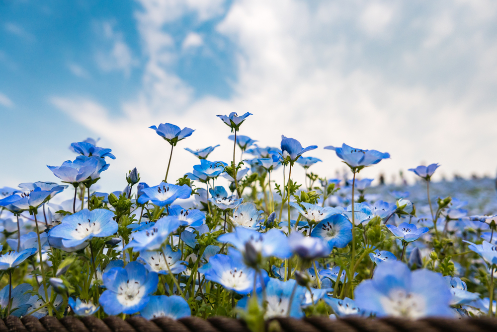 Blue Nemophila at Hitachi Seaside Park _472958923