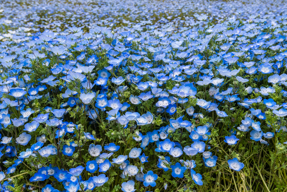 Blue Nemophila at Hitachi Seaside Park in spring_472958992