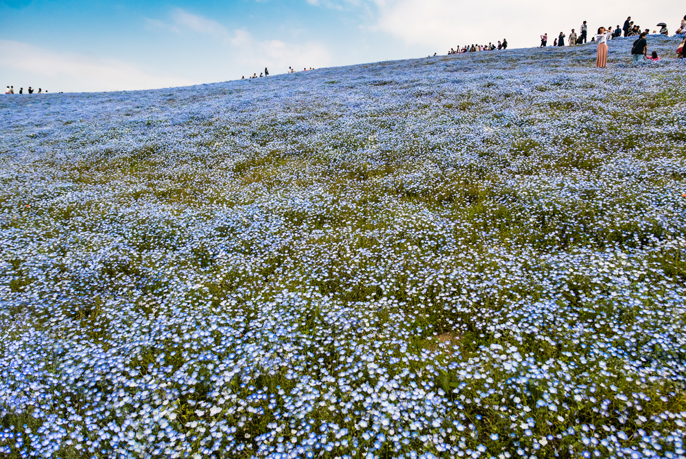 Blue Nemophila at Hitachi Seaside Park in spring_472959046