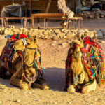 Bedouin camels rest in the ancient city of Petra_464052014