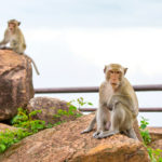 monkey-crab-eating-macaque-in-khao-phra-wihan-national-park_474614503