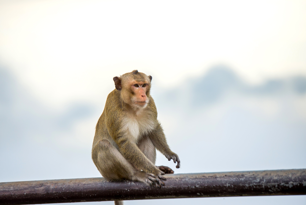 monkey-crab-eating-macaque-in-khao-phra-wihan-national-park_474614878
