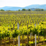 sunny-vineyard-on-the-background-of-mountains-in-crimea_442867204
