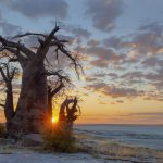 baodab-tree-at-kubu-island_507458227