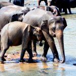 Pinnawala elephant orphanage in Rambukkana, Sri Lanka_530849851